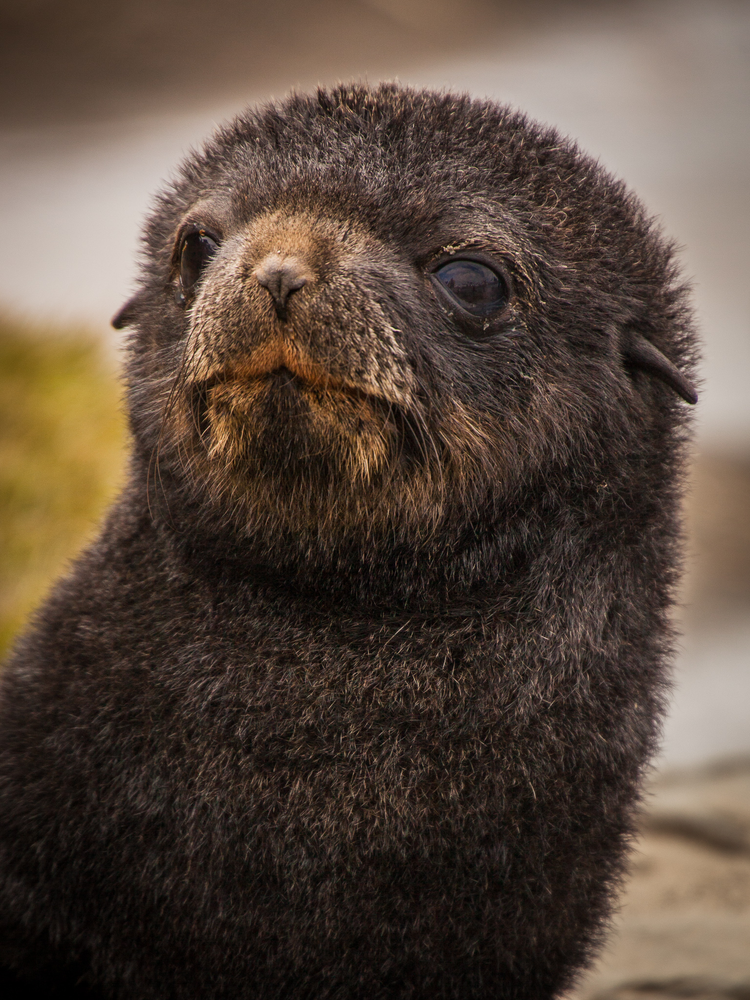 Fur Seal Pup - Fortuna Bay -   Kelly Redhead