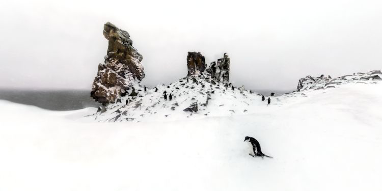 Snowy Rookery