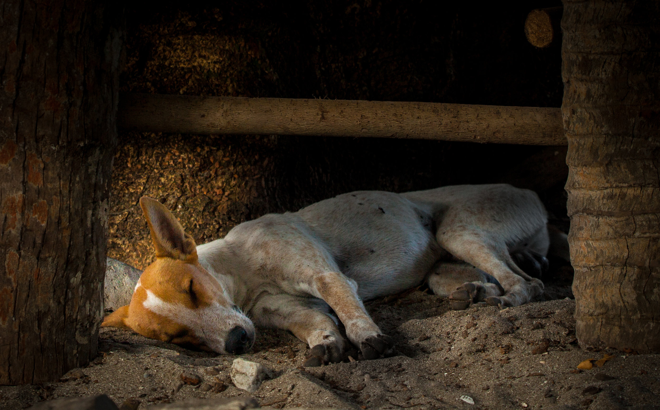 Malakula Dog Resting