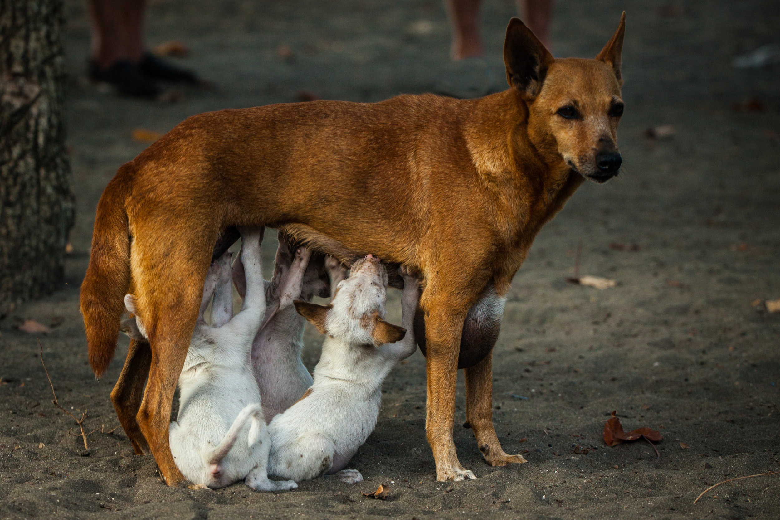 Malakula Dog with Pups