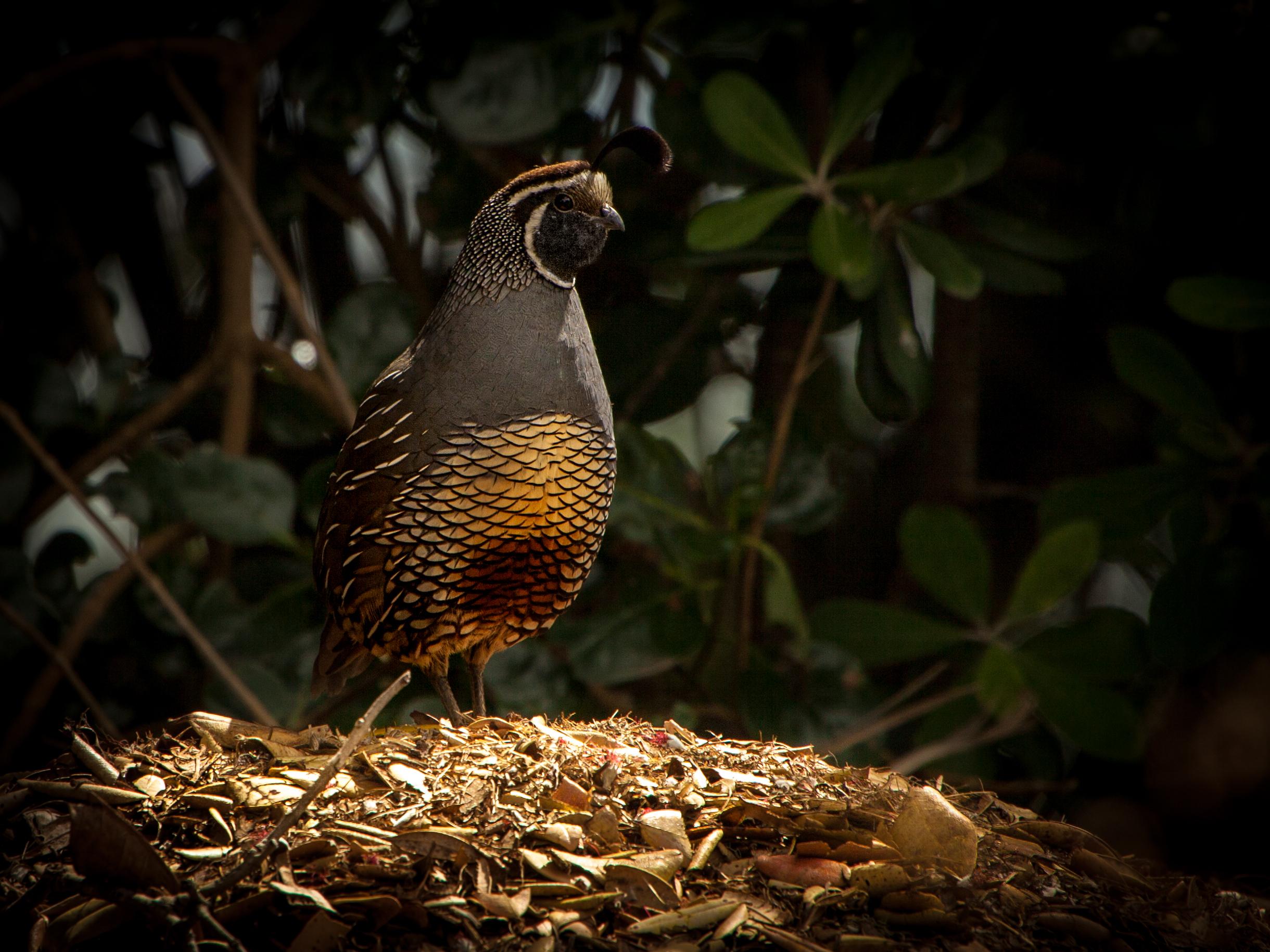 Waitangi California Quail Nesting