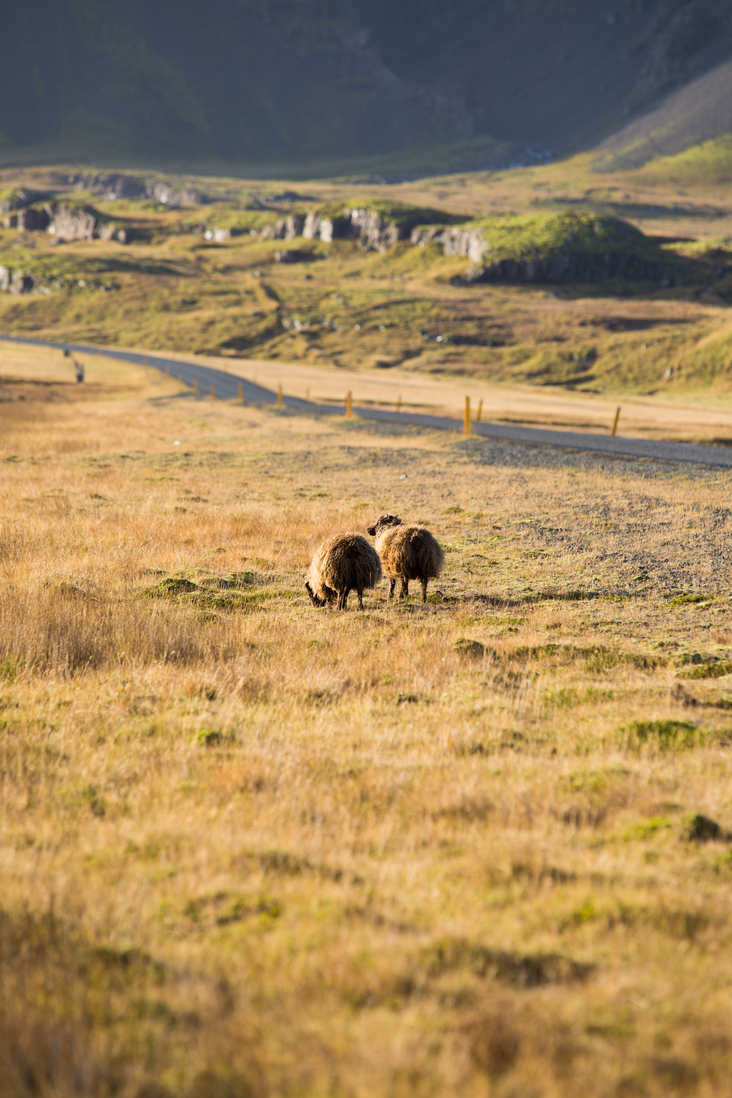 Roaming throughout the Icelandic grasslands are their prized sheep. WIth little to worry about besides a GPS locator on their ear, many roam all day and night as they wish.