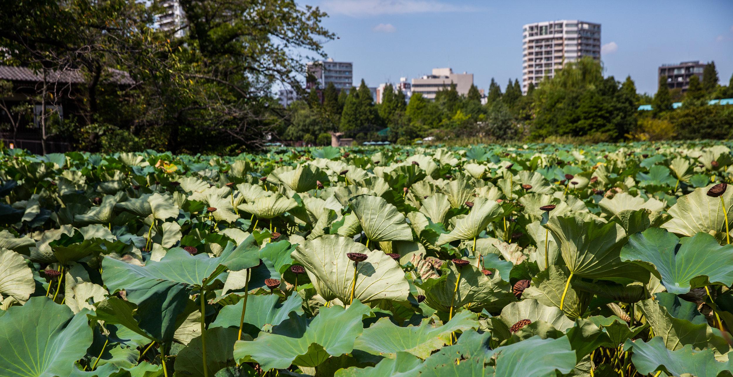 Shinobazuno Pond