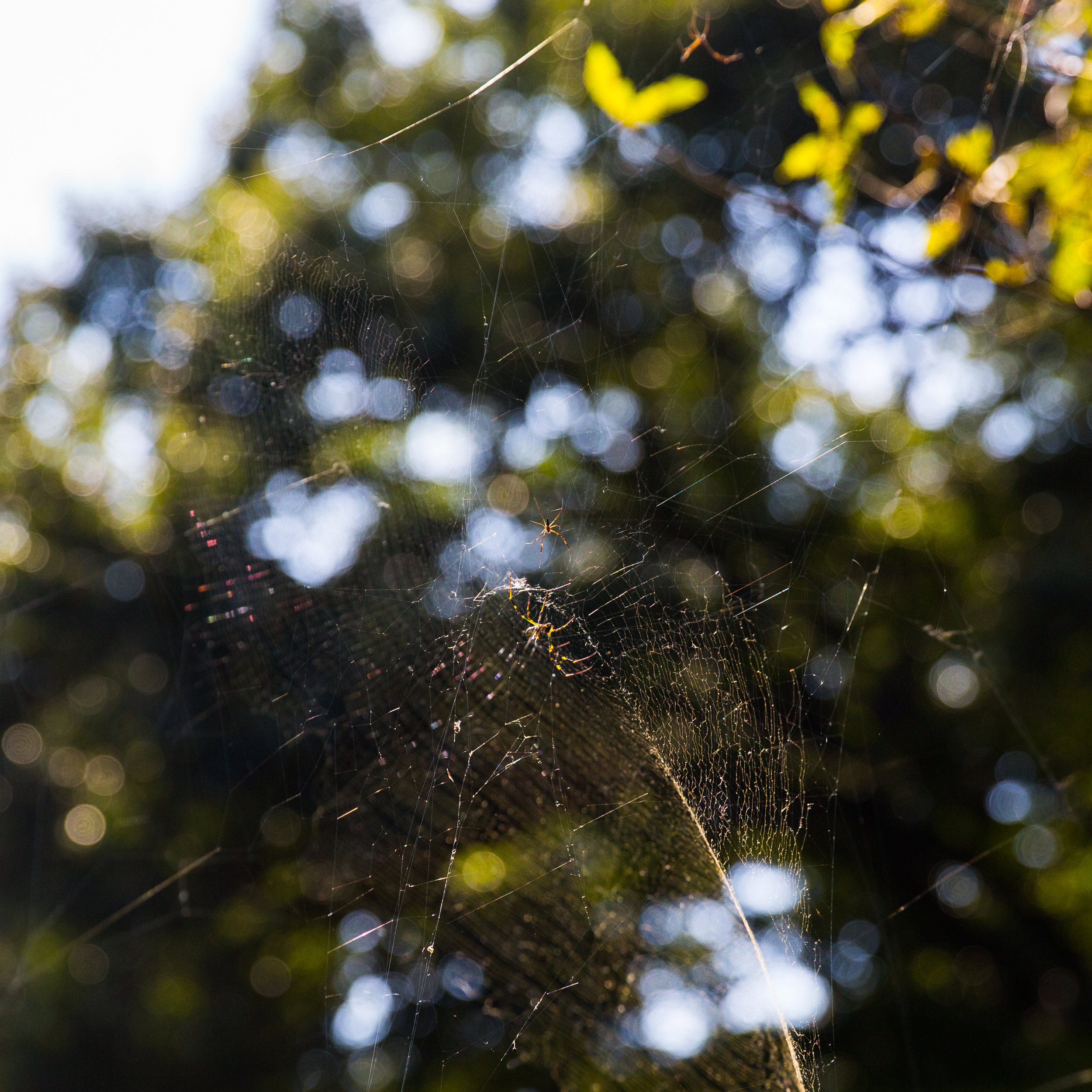 A family of spiders watches over the pond.