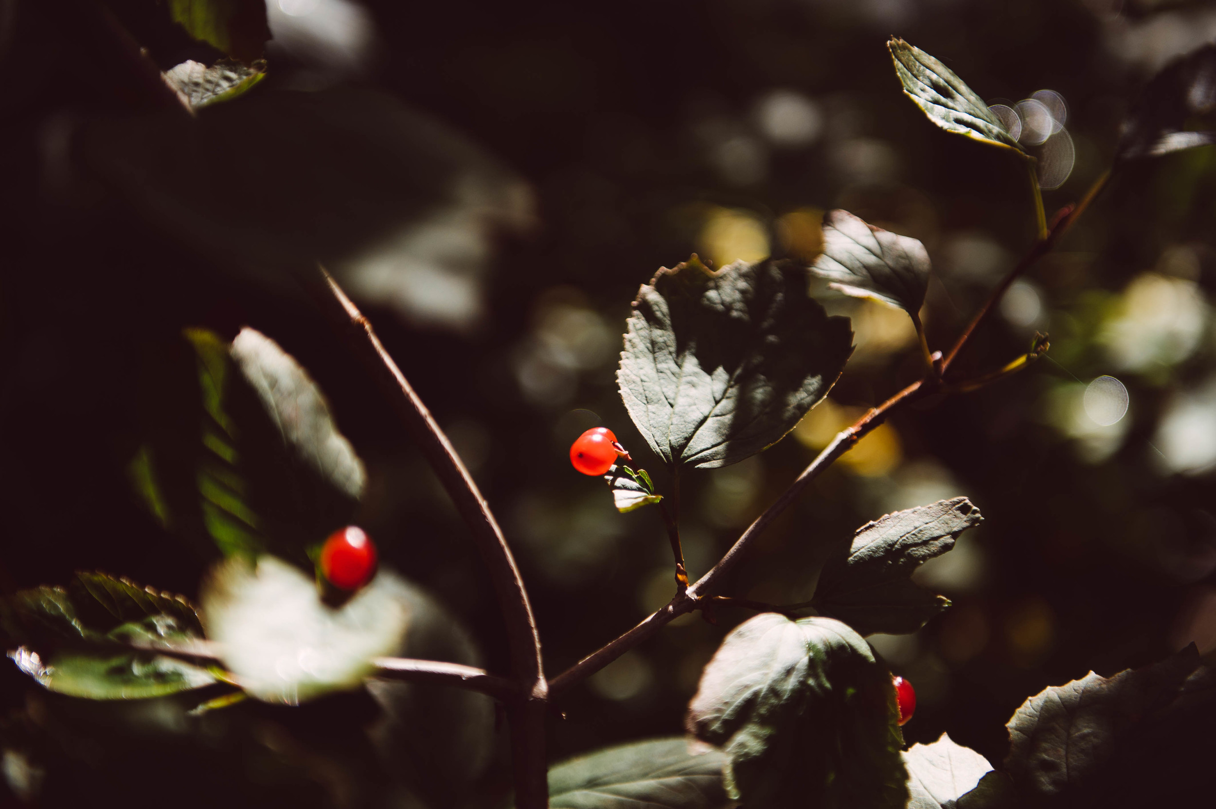 We munched on high bush cranberries and perfectly riped rosehips on our hike