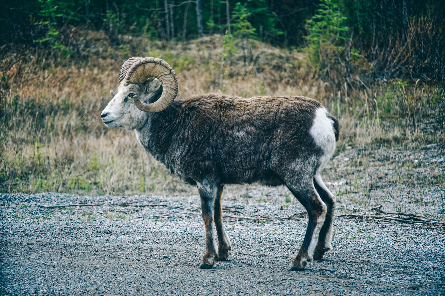As usual, we were treated to a real show on our way North. Bighorn sheep, mountain goats, a wolf, cariboos, moose, lots of bears and even brand new bison babies...