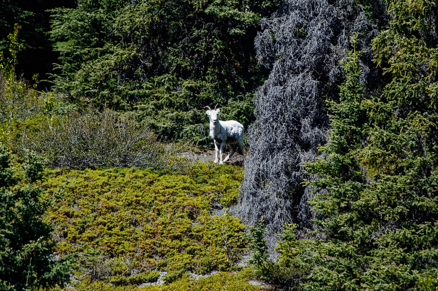 A curious Dall sheep looking at us.