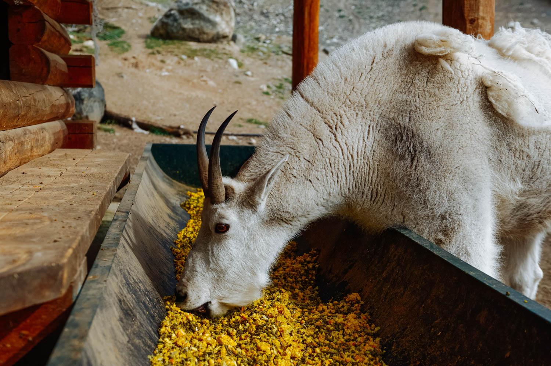 Mountain goat having her breakfast