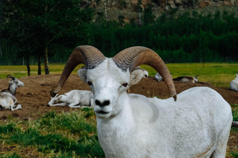 Thinhorn sheep