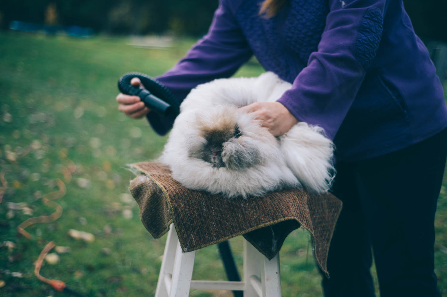 Fluffing the angora rabbit before collecting the hair.