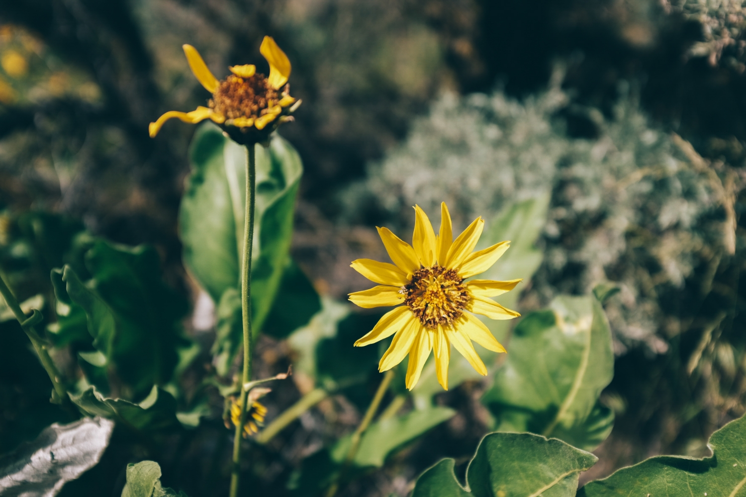 Arrowleaf Balsamroot, or the Okanagan sunflower. It's everywhere in the Spring.