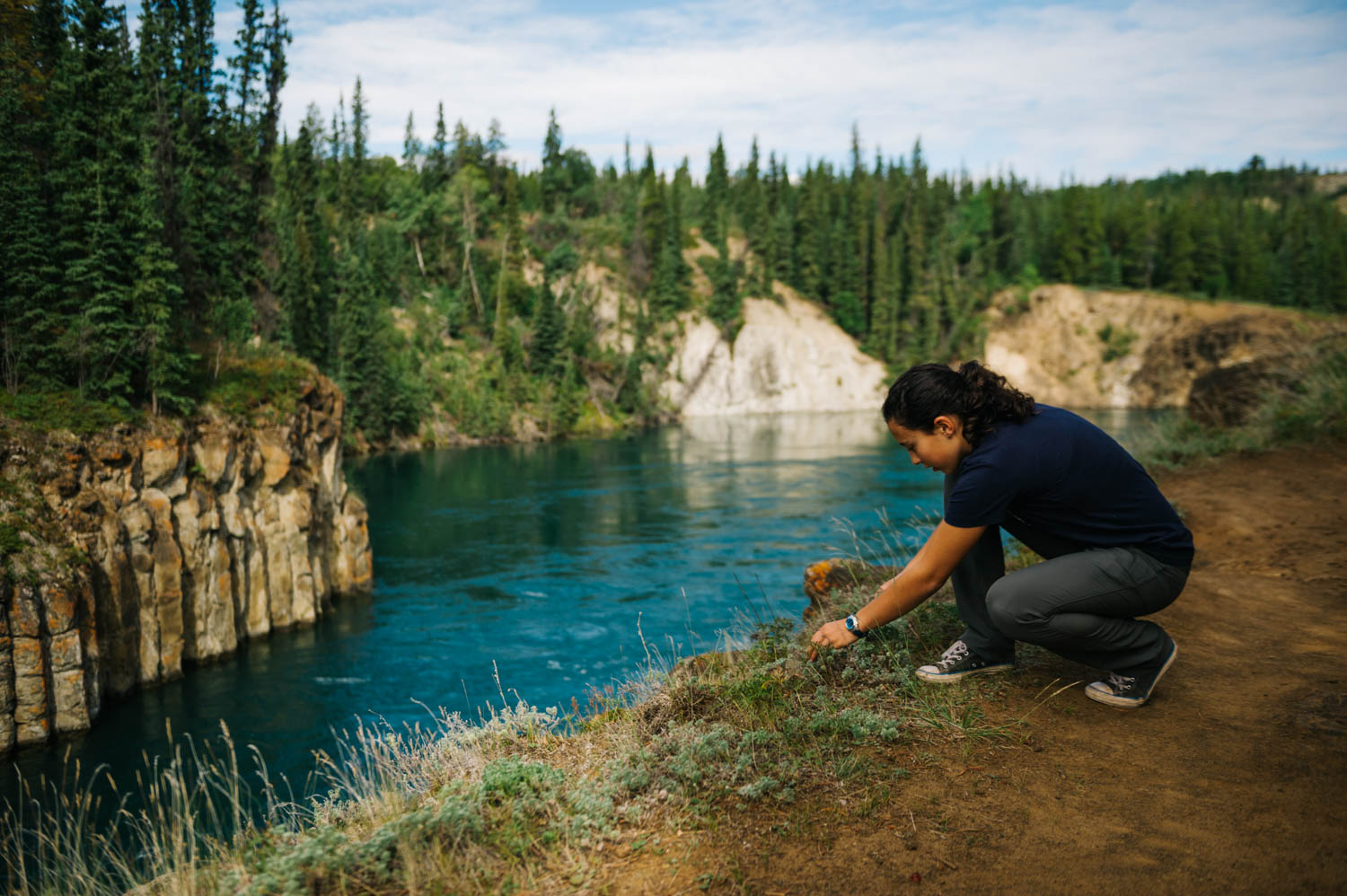 Harvesting wild sage along the Yukon River.