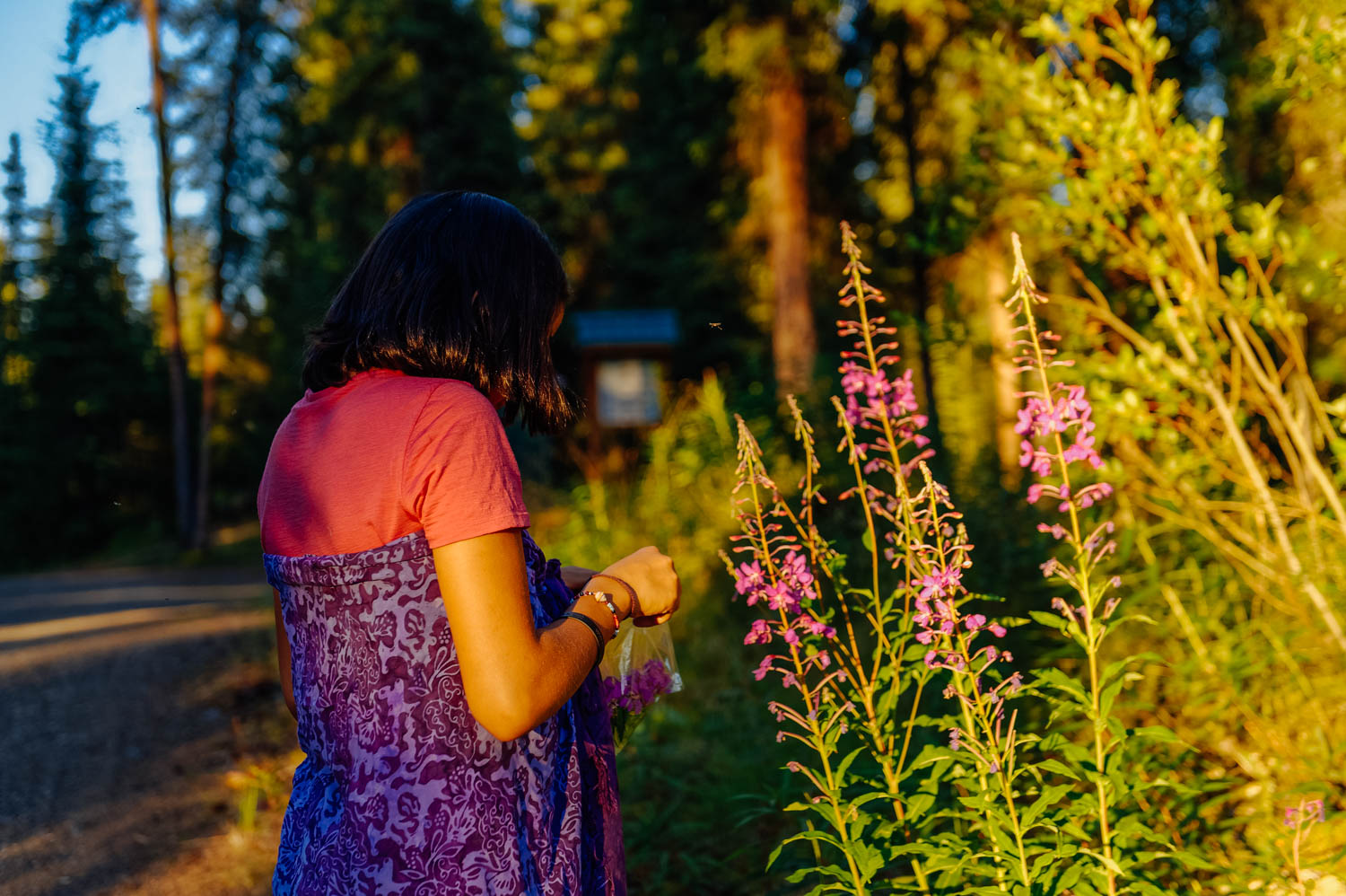 Picking fireweed to make a tea mix.