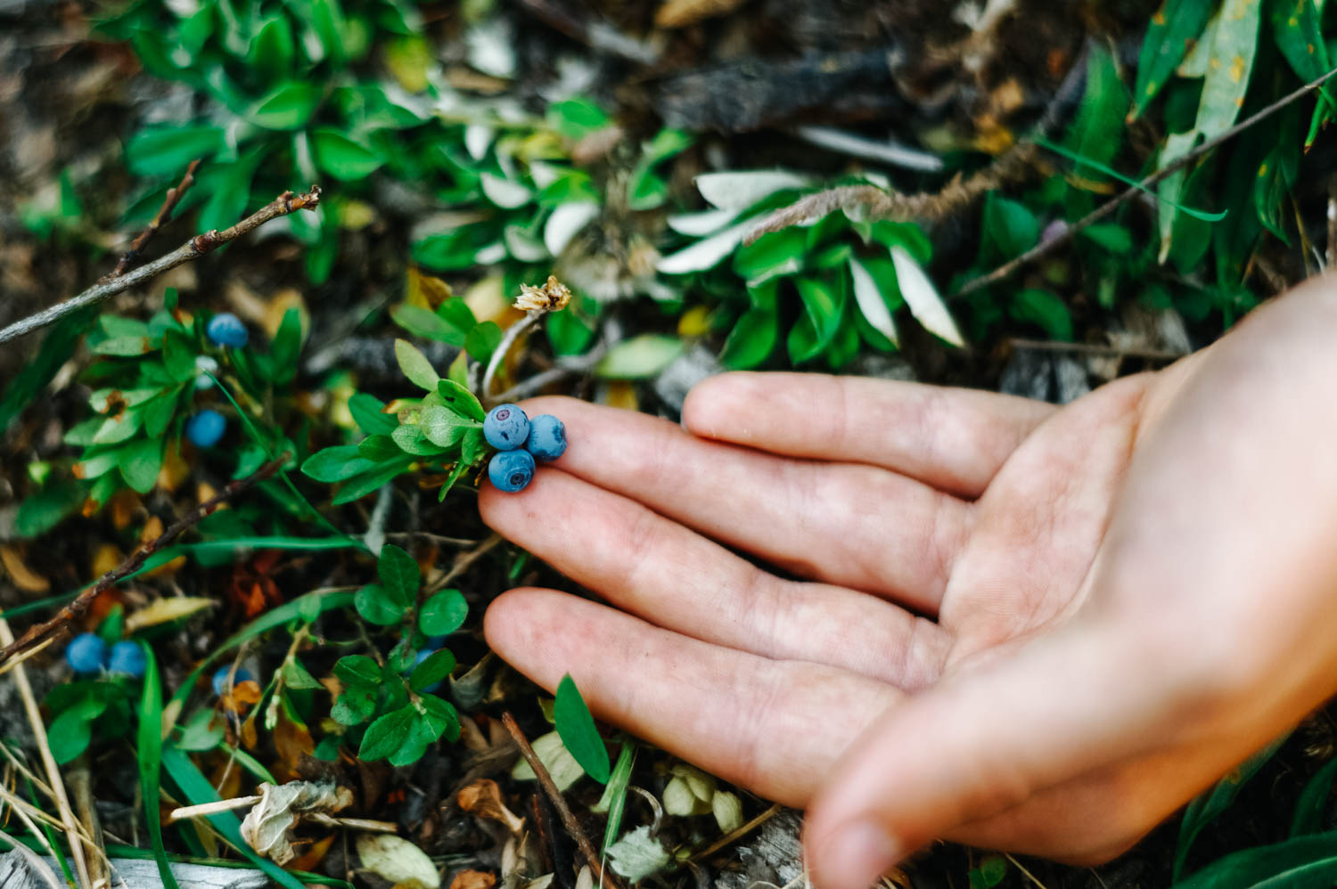 Wild blueberries are the best. But picking them in a lesson in patience.
