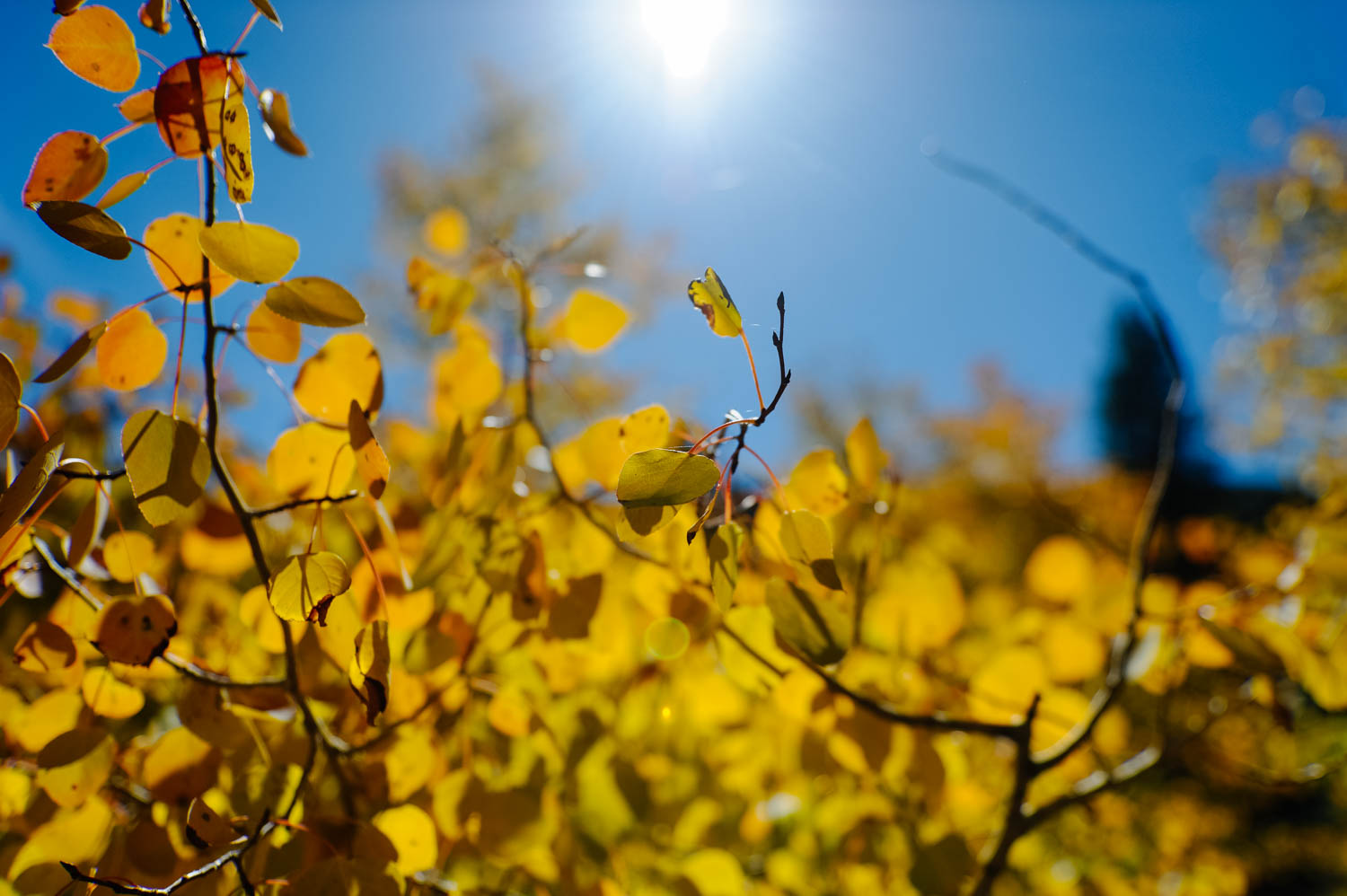 The aspens are turning yellow in the Sierras already!