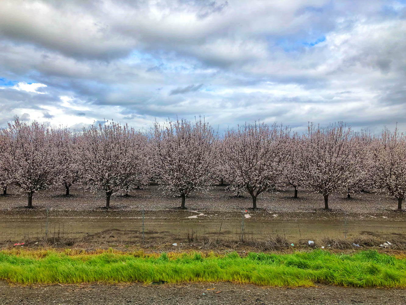 Just as we were marveling at the pastoral beauty of the miles and miles of almond trees in bloom in Yolo, an aircraft shot from around a corner spraying a torrent of pesticides over them. This is right by a residential area and a school... I know there has been concerns and debates about this situation and that it has been the focus of recent media scrutiny because of the large amount of water required to grow almonds (12 liters per almond kernel!!), but to see it happen right in front of your eyes makes you realize firsthand the impact of our increased consumption of almonds (the almond orchard acreage has doubled in the last two decades!). We have definitely cut back on our almond consumption and focus more on hemp seeds