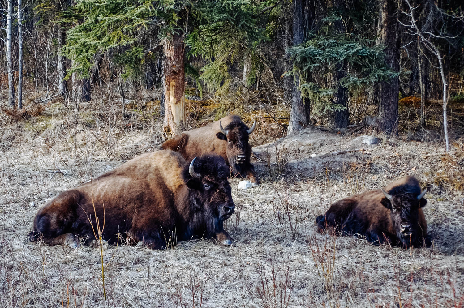 The Liard Bison herd. There were lots of brand new calves too!