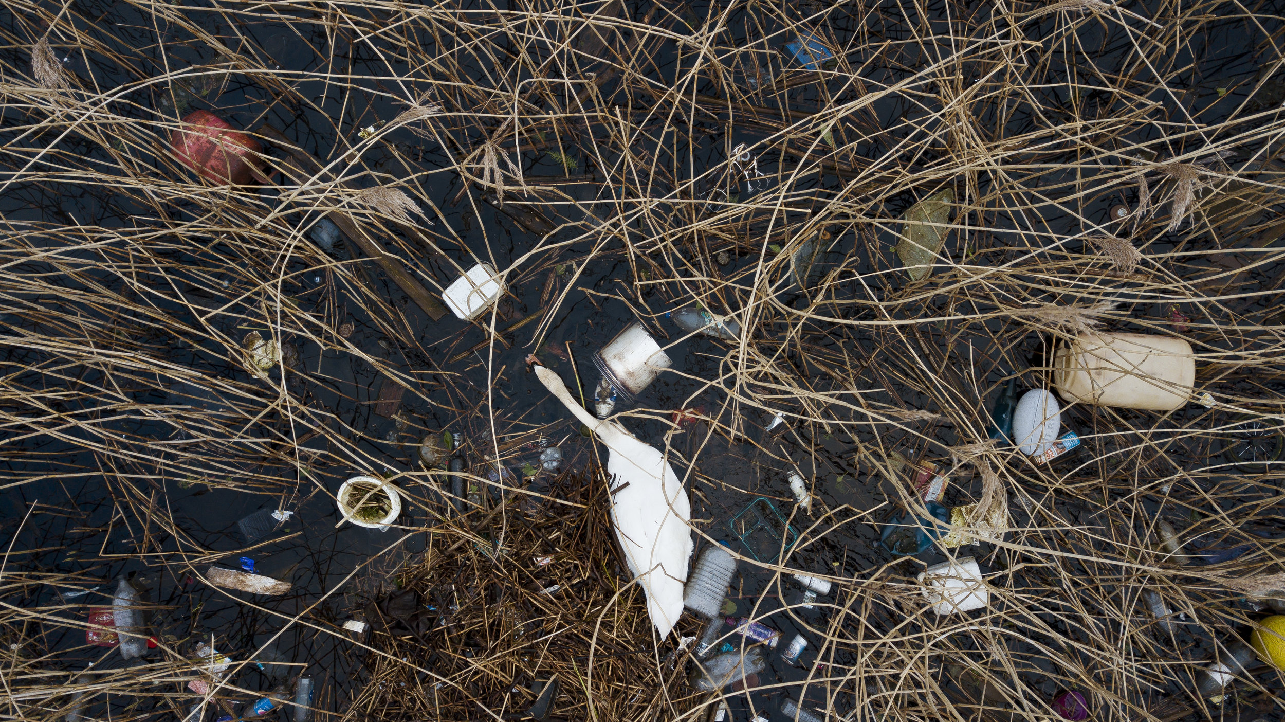 A swan surrounded by litter in the River Taff in Cardiff, Wales.