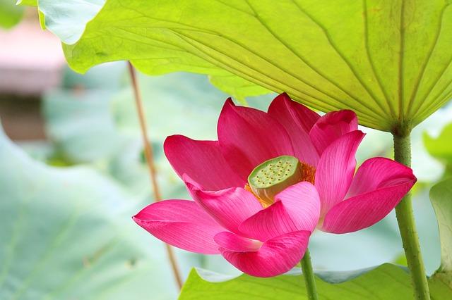 lotus-2081556_640.jpg