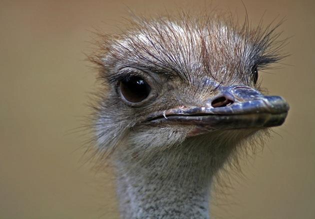 ostrich2.jpg