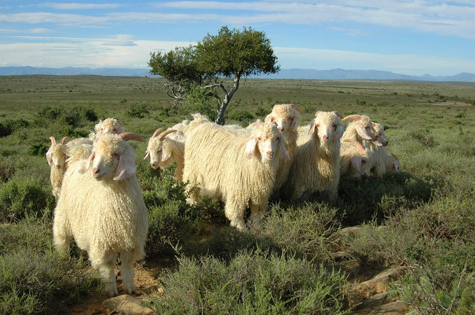 Angora Goats in South Africa (www.mohair.co.za)