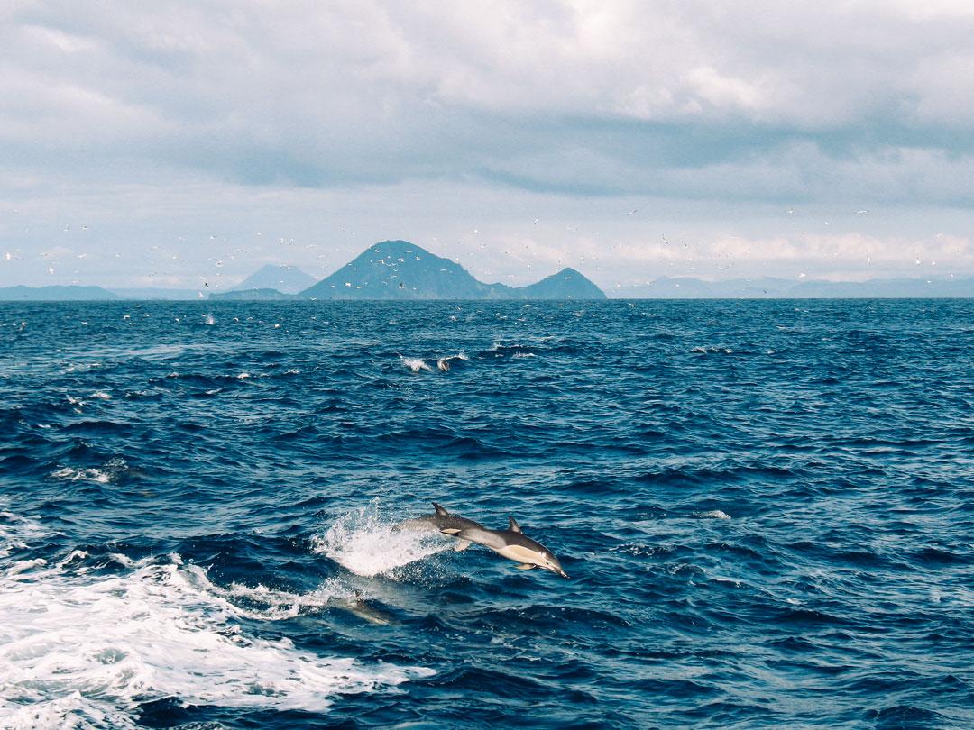 Tips på saker att göra på Nya Zeeland norra ö; besök den aktiva vulkanen White island och se delfiner från båten.