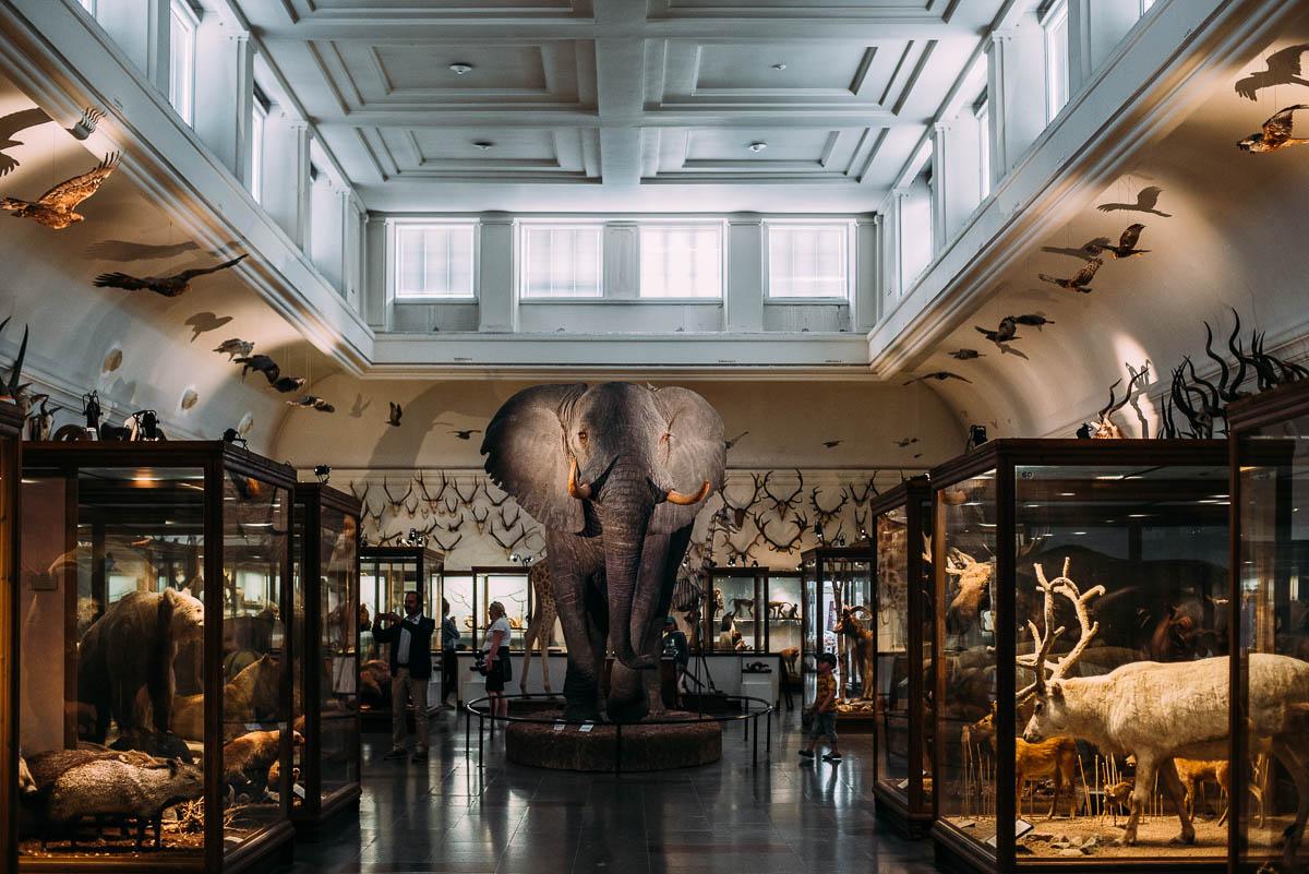Uppstoppad elefant på Göteborgs Naturhistoriska museum