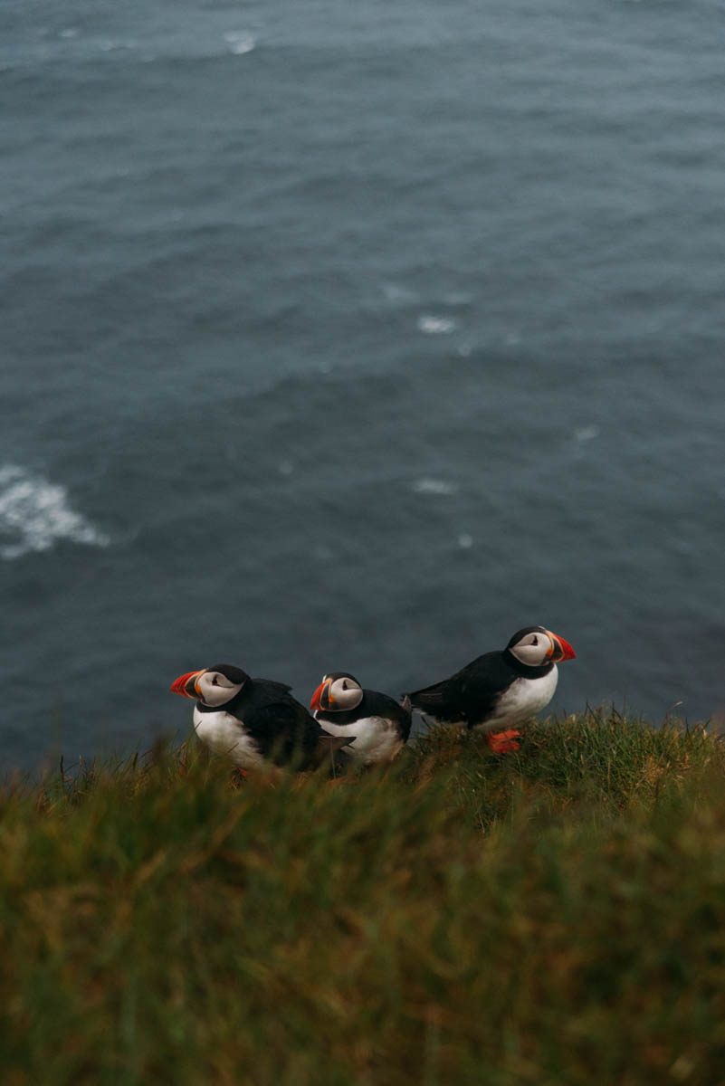 Fotografera lunnefåglarna på Latrabjarg Island.