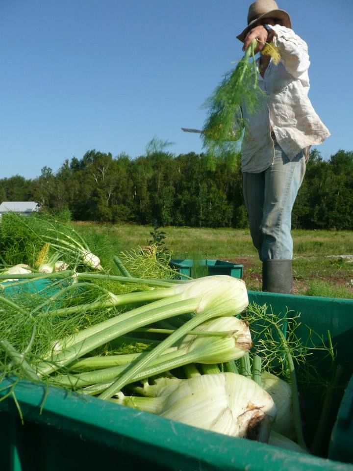 harvesting fennel.jpg