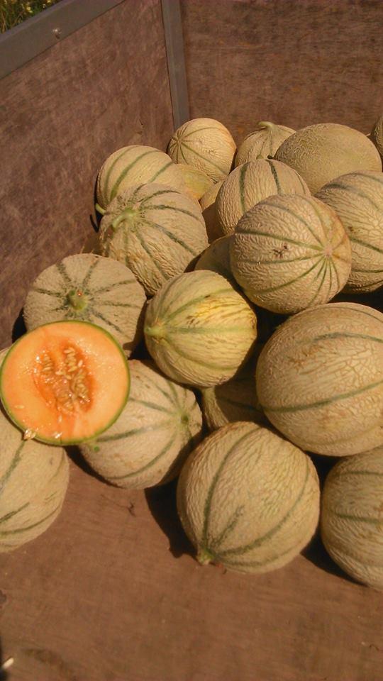 melon harvest.jpg