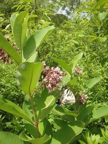 Brooksvale butterflies