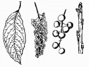 2. Black Cherry - near #1 (L)Prunus serotinaLeaf: Long, narrow and blunt toothed.Fruit: Round, in long clustersBark: Rough dark outer bark, peeling to expose reddish under bark. -