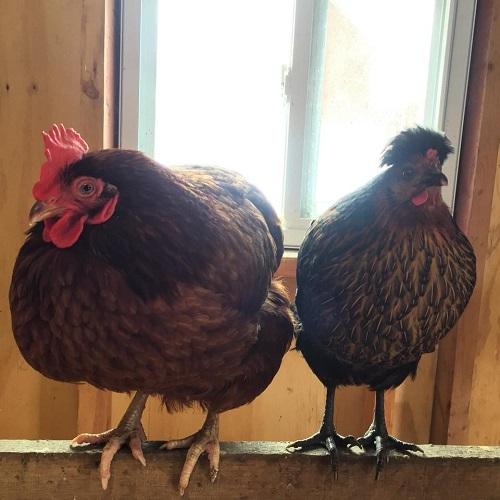 mother daughter hens.jpg