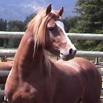 trysor_welsh_pony_stallion_2008_head.jpg