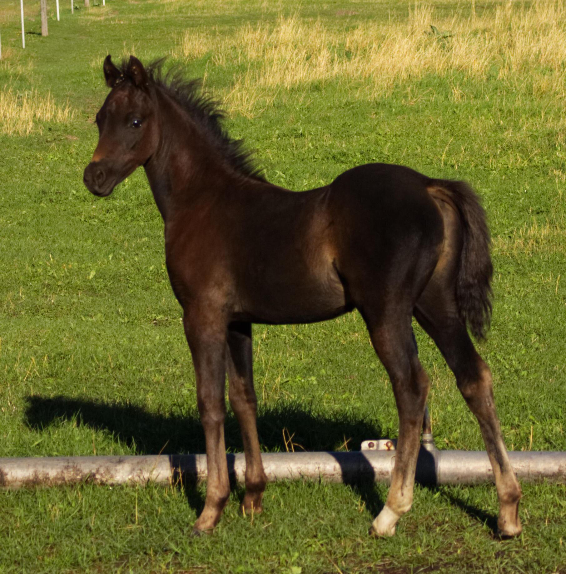 Black colt.jpg