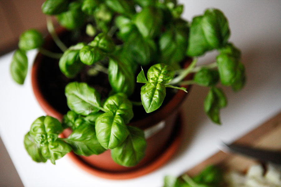Fresh basil | Freckle & Fair