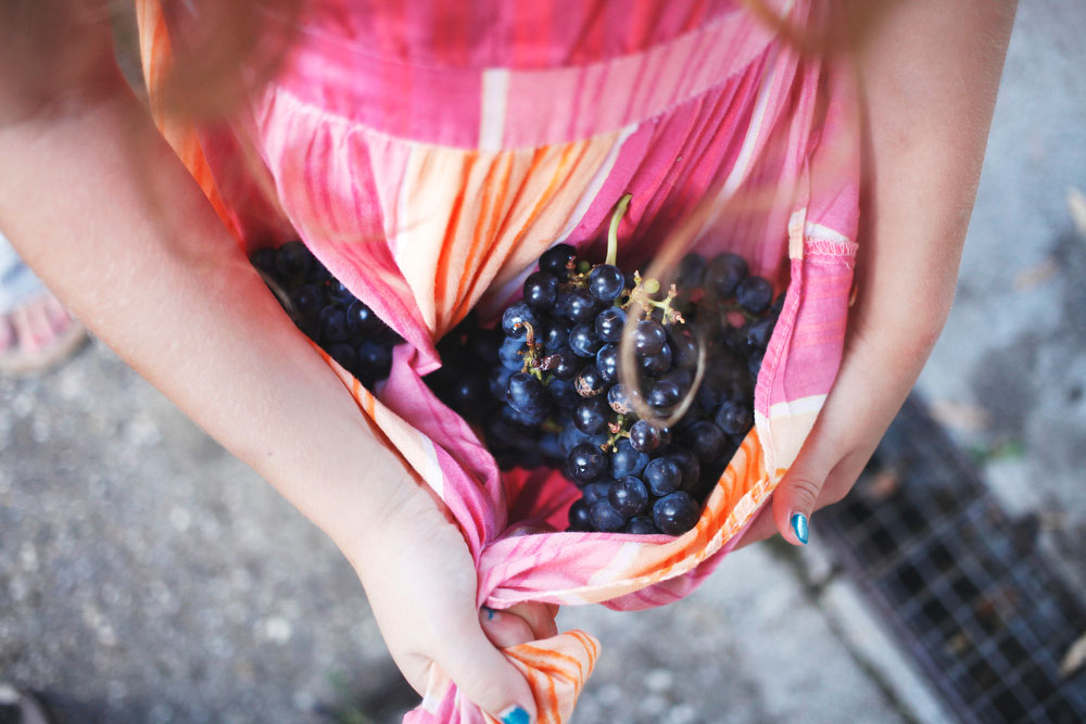 Salvan winery grape stomp during harvest season in northern Italy | freckleandfair.com