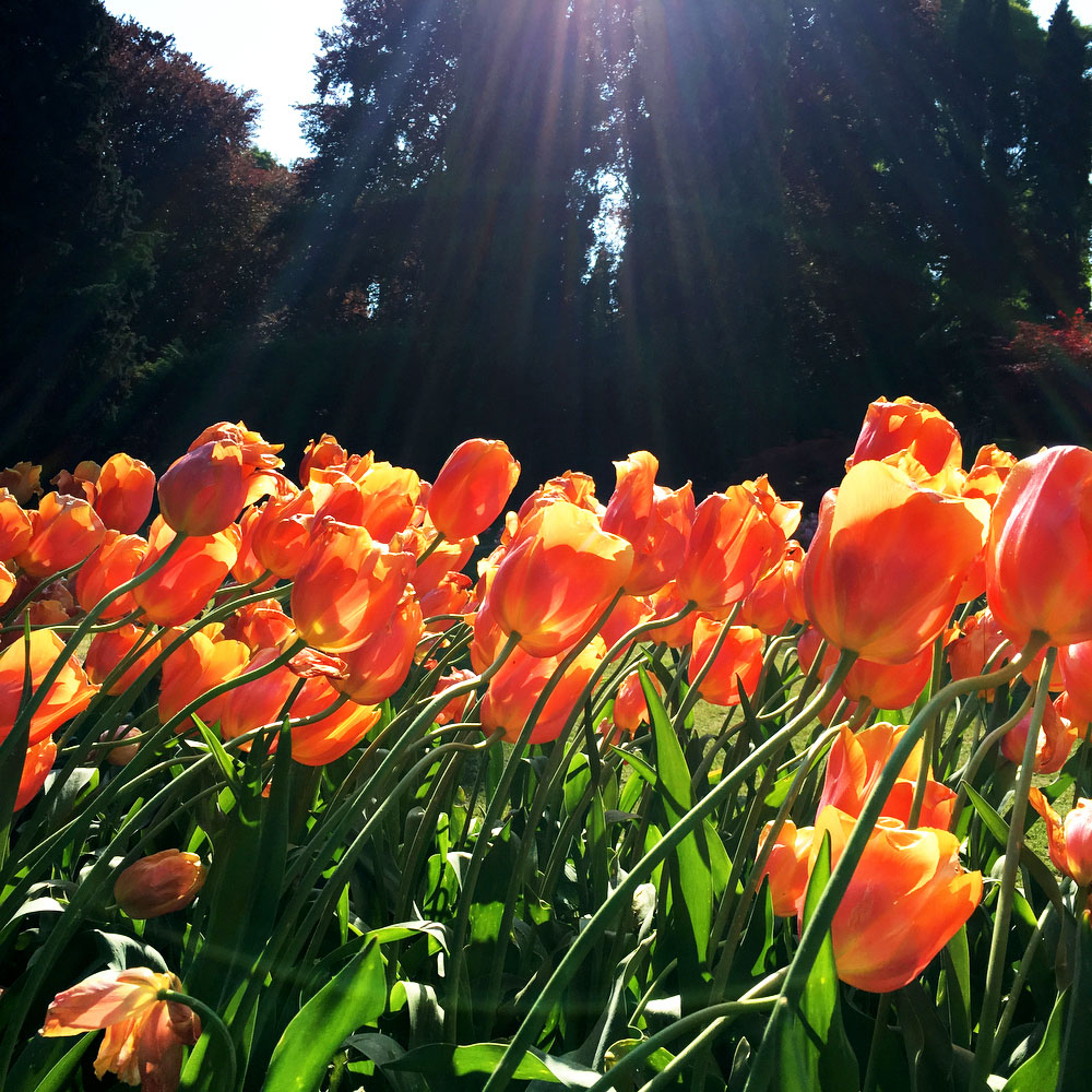 Tulips at Parco Giardino Sigurta