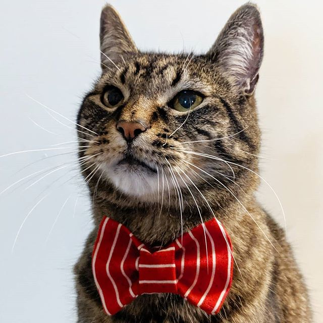 Scotty is modeling the new Santa #catbowtie by #businesscatual  get it now in the shop!  Businesscatual.com