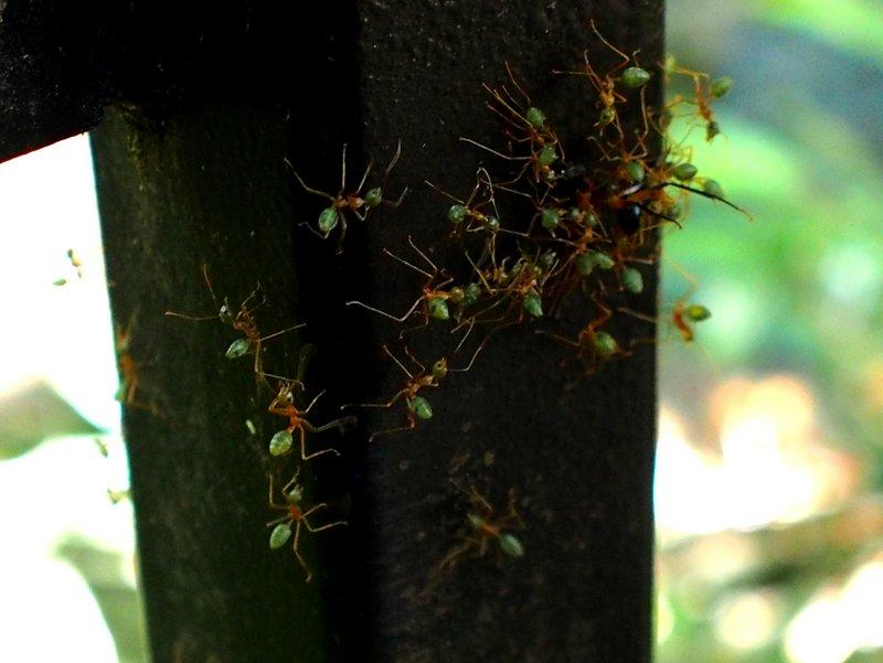 The lemon ants