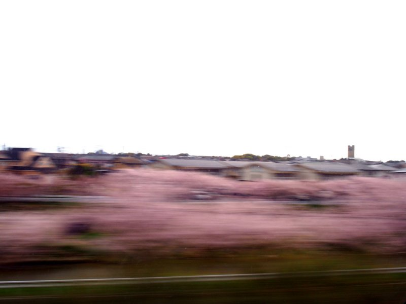 Cherry blossoms at 200MPH