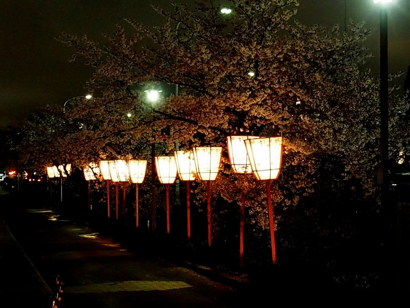 My shot of cherry blossoms at night