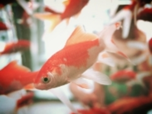 goldfish-178579_640.jpg