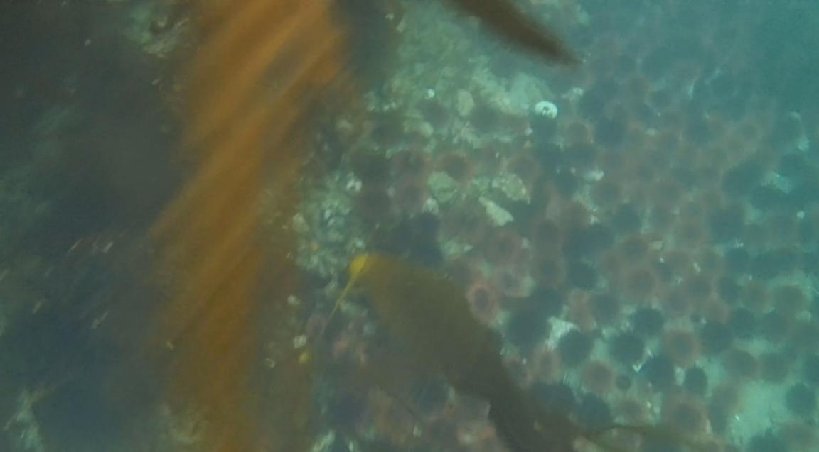 underwater langara island 2 (143).jpg