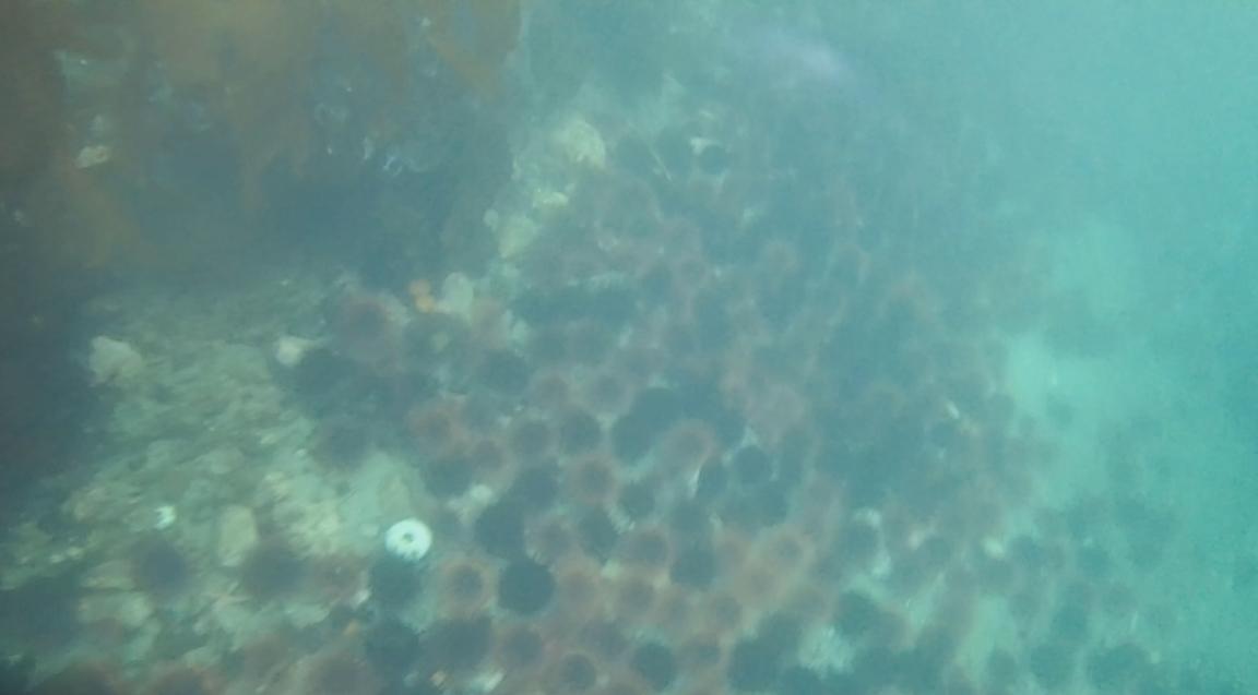 underwater langara island 2 (146).jpg
