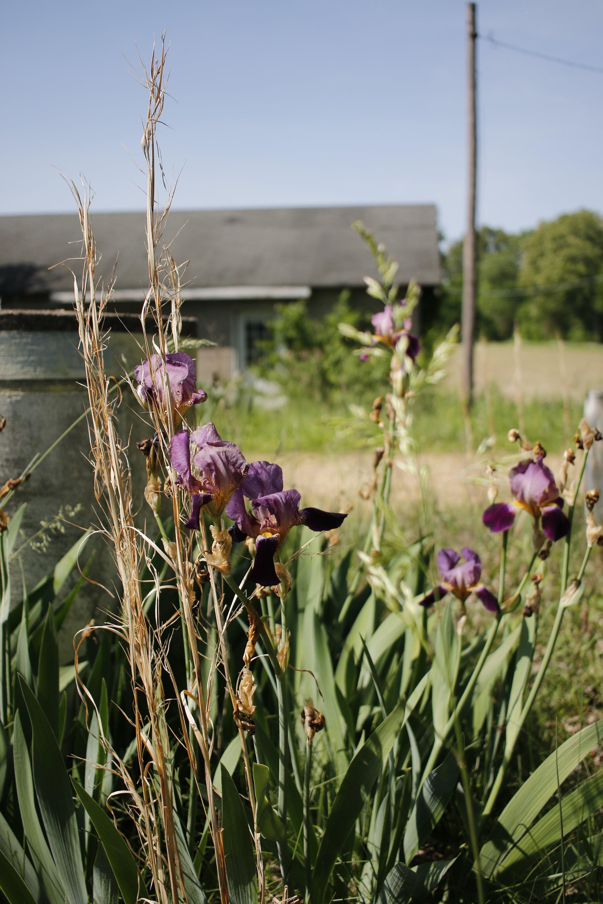 iris & grass.jpg