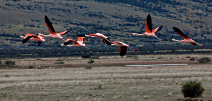 Chilean Flamingos flying over the Argentinian pampas.