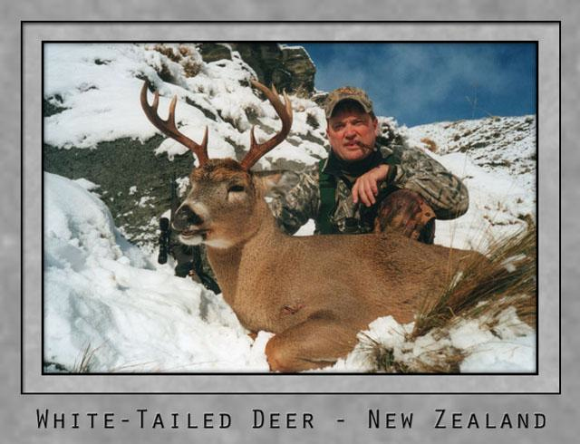 White tailed Deer NZ.jpg