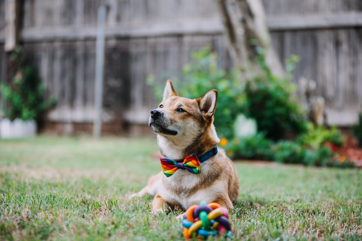 Calvin - He's a fierce ally for the LGBTQIA community. And probably too smart for his own good. (Shiba Inu)