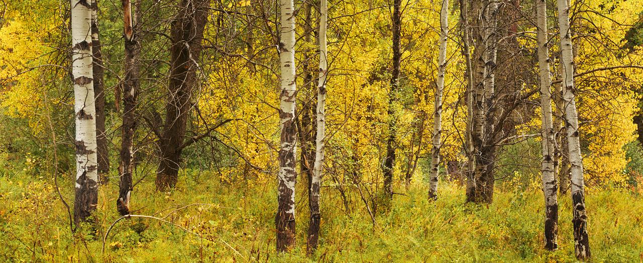 Birch_Grove_in_Early_Autumn.jpg